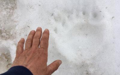 E' l'orma dell'orso a Casera Rest